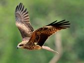 老鷹   Black kite   :DSC_6702.JPG