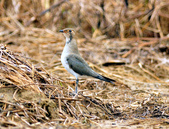 燕鴴 Large Indian Pratincole :DSC_2552.JPG
