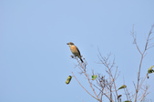 黑喉鴝Common Stonechat  :DSC_5953.JPG