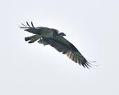 魚鷹 Osprey   :DSC_4306.JPG