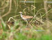 水雉Pheasant-tailed Jacana :DSC_8940.JPG