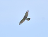 北雀鷹  Northern Sparrow Hawk  :DSC_6147.JPG