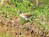 水雉Pheasant-tailed Jacana :DSC_9040.JPG