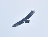 大冠鷲 Crested Serpent Eagle :DSC_1854.JPG