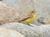 金鵐 Yellow-breasted Bunting  :DSC_7186.JPG