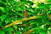 棕耳鵯Chestnut-eared Bulbul :DSC_7341.JPG