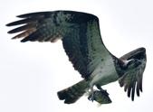 魚鷹 Osprey   :DSC_4322.JPG