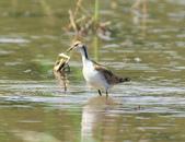 水雉Pheasant-tailed Jacana :DSC_9045.JPG