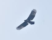 大冠鷲 Crested Serpent Eagle :DSC_1869.JPG