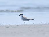 小燕鷗  Little Tern  :DSC_4334.JPG