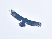 大冠鷲 Crested Serpent Eagle :DSC_1886.JPG
