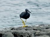 岩鷺  Pacific Reef Egret    :DSC_2080.JPG