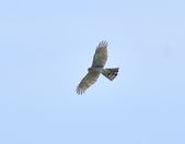 北雀鷹  Northern Sparrow Hawk  :DSC_6148.JPG