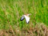 水雉Pheasant-tailed Jacana :DSC_8931.JPG