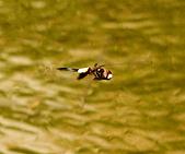 蜻蜓:DSC_8983.JPG