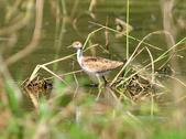 水雉Pheasant-tailed Jacana :DSC_8941.JPG
