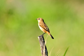 黑喉鴝Common Stonechat  :DSC_9427.JPG