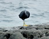 岩鷺  Pacific Reef Egret    :DSC_2077.JPG
