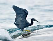 岩鷺  Pacific Reef Egret    :DSC_2095.JPG
