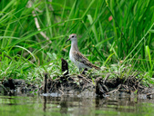 雲雀鷸Long-toed stint  :DSC_2285.JPG