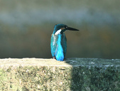 翠鳥  Common Kingfisher   :DSC_2375.JPG