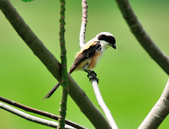 棕背伯勞 Black-headed Shrike   :DSC_3306.JPG