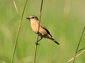 黑喉鴝Common Stonechat  :DSC_9467.JPG