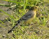 黃頭鶺鴒〈雌〉:DSC_9878.JPG