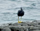 岩鷺  Pacific Reef Egret    :DSC_2079.JPG