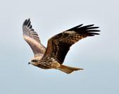 老鷹   Black kite   :DSC_6706.JPG