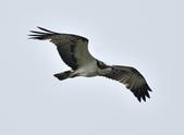 魚鷹 Osprey      :DSC_0452.JPG
