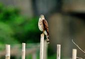 松雀鷹Besra sparrow hawk :DSC_2062.JPG