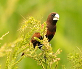 黑頭文鳥:DSC_5114.JPG