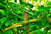 棕耳鵯Chestnut-eared Bulbul :DSC_7349.JPG