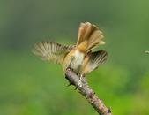 紅尾伯勞Brown Shrike :DSC_5622.JPG