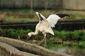 白鶴  Siberian Crane :DSC_0037.JPG