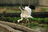 白鶴  Siberian Crane :DSC_0042.JPG