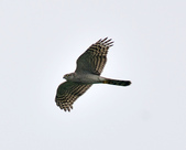 北雀鷹  Northern Sparrow Hawk  :DSC_0429.JPG