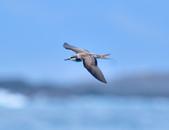 白眉燕鷗Bridled Tern :DSC_0365.JPG