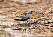 燕鴴 Large Indian Pratincole :DSC_2560.JPG