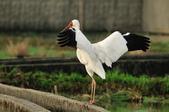 白鶴  Siberian Crane :DSC_0048.JPG