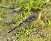 黃頭鶺鴒〈雌〉:DSC_9879.JPG