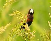 黑頭文鳥:DSC_5115.JPG