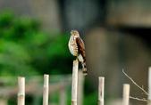 松雀鷹Besra sparrow hawk :DSC_2059.JPG