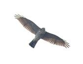日本松雀鷹Japanese Lesser Sparrow Hawk :DSC_9183.JPG