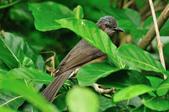 棕耳鵯  Chestnut-eared Bulbul  :DSC_2790.JPG