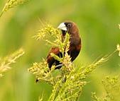 黑頭文鳥:DSC_5117.JPG