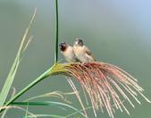 斑文鳥 Nutmeg Mannikin :DSC_6032.JPG