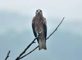 老鷹   Black kite :DSC_1400.JPG