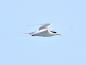 鳳頭燕鷗  Greater Crested Tern :DSC_9036.JPG